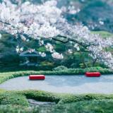 [春]晴れの日を祝福する圧巻の桜景色