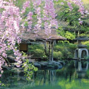 『日本の四季を感じる庭園』 河津桜、染井吉野、枝垂れ桜など庭園には様々な品種が植えられており、春の長い期間、桜を愉しむことが出来ます|八芳園の写真(998663)