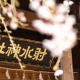 「しだれ桜」 ご本殿横に咲きお二人の挙式を華やかに・・・
