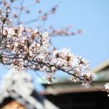 満開の桜の花は、おふたりの最幸の日に彩りを添えて