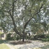 ガーデン挙式スペースの桜の木はグリーンが生い茂る新緑の季節もおすすめ