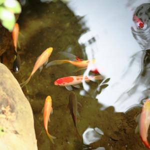 池を優雅に泳ぐ鯉