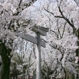 満開の桜も楽しめます