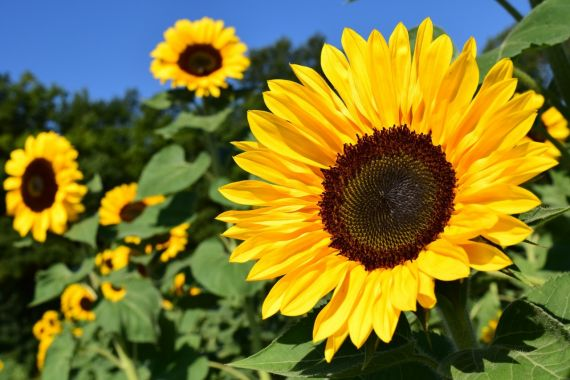 ヒマワリ花言葉:「あなただけを見つめてる」 夏のパワフルなイメージ